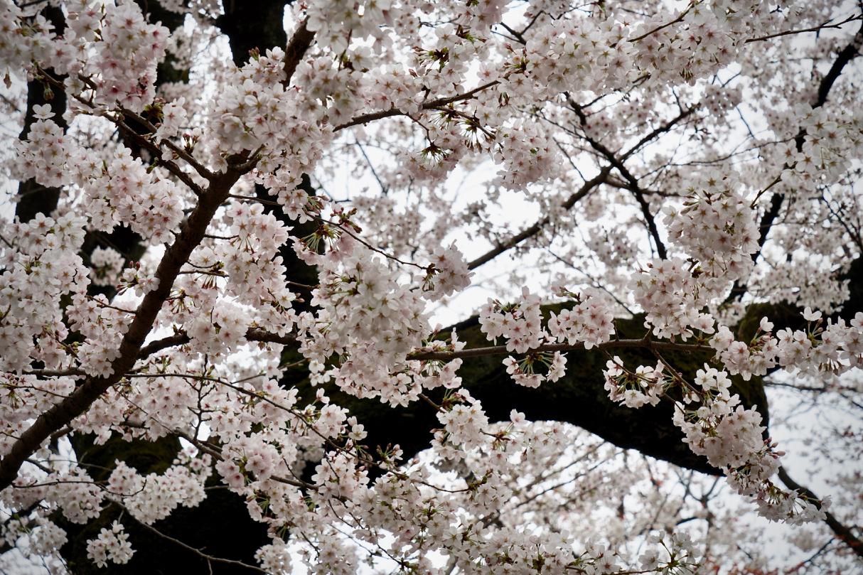 靖国の桜01