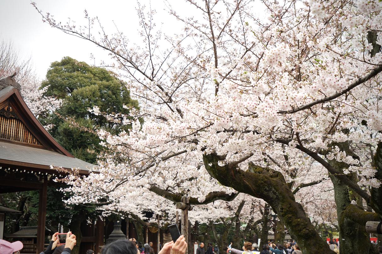 靖国の桜03