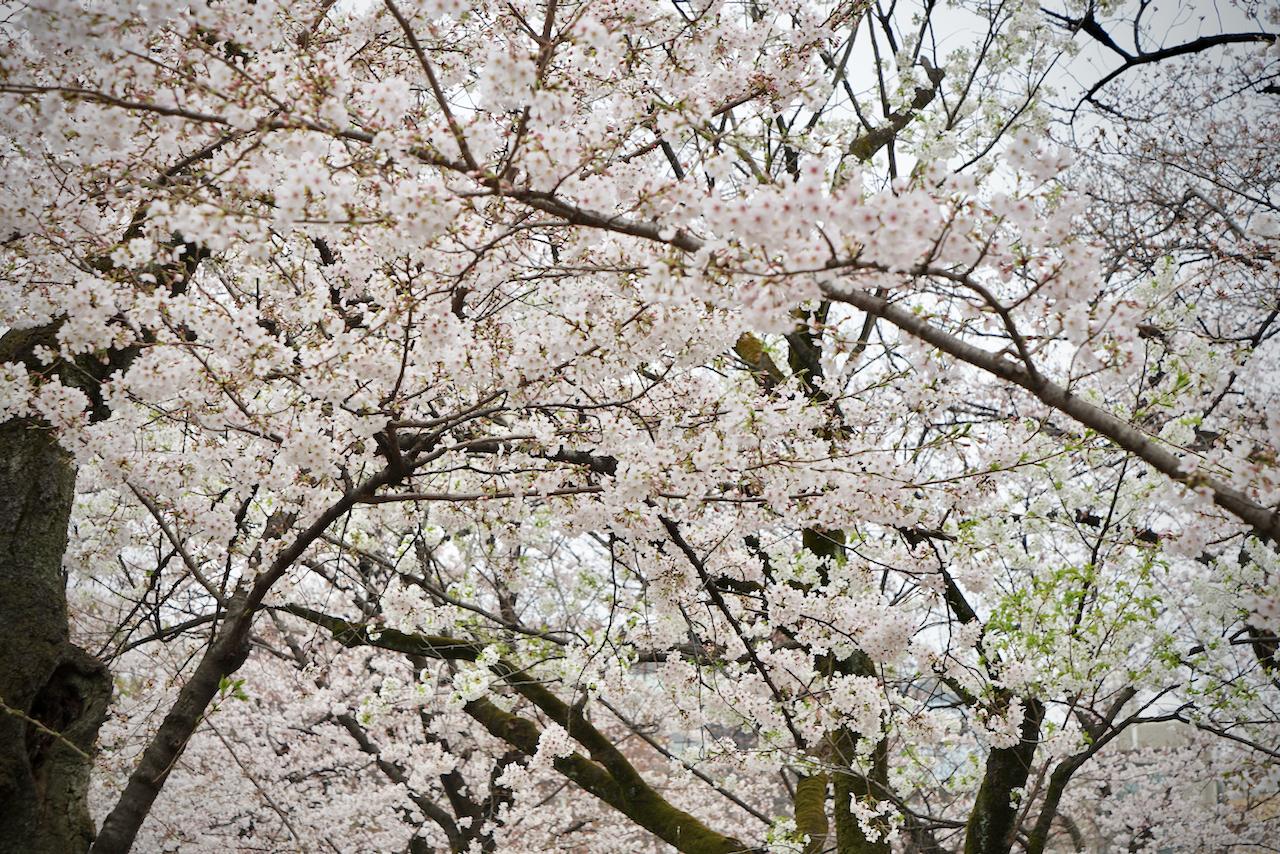 靖国の桜02