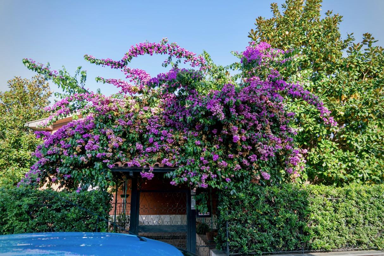 ローマの花