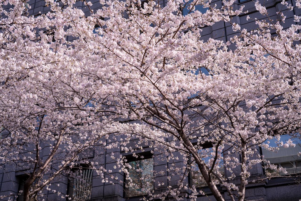 江戸桜通り02